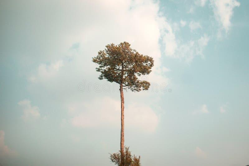 El árbol alto es altísimo foto de archivo libre de regalías