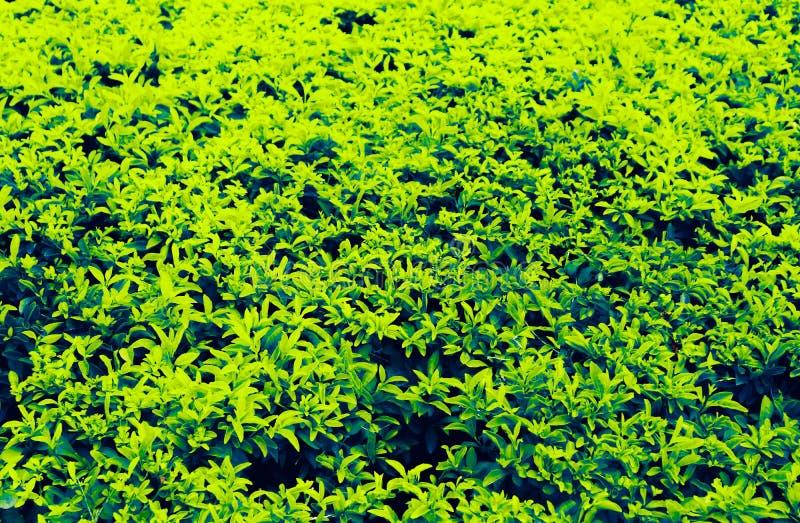 El árbol amarillo y verde del color abstracto hermoso de la textura deja el fondo en el jardín público y los parques verdes de la foto de archivo