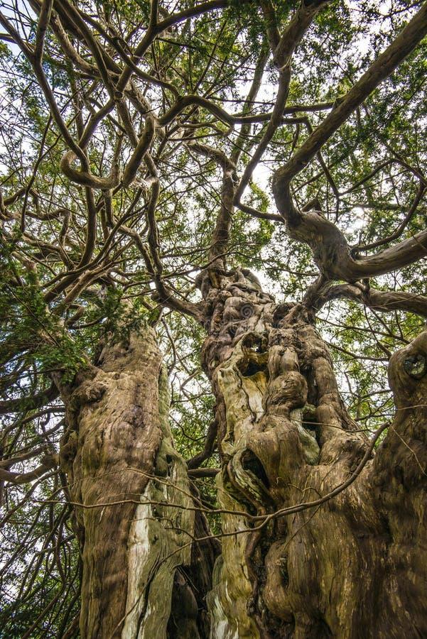 El árbol antiguo del tejo de rey Harold en el cementerio al noroeste de Hastings, Sussex del este, Inglaterra de Crowhurst fotografía de archivo libre de regalías