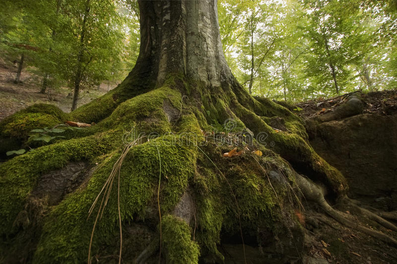 El árbol arraiga con el musgo verde en un acantilado imagen de archivo libre de regalías