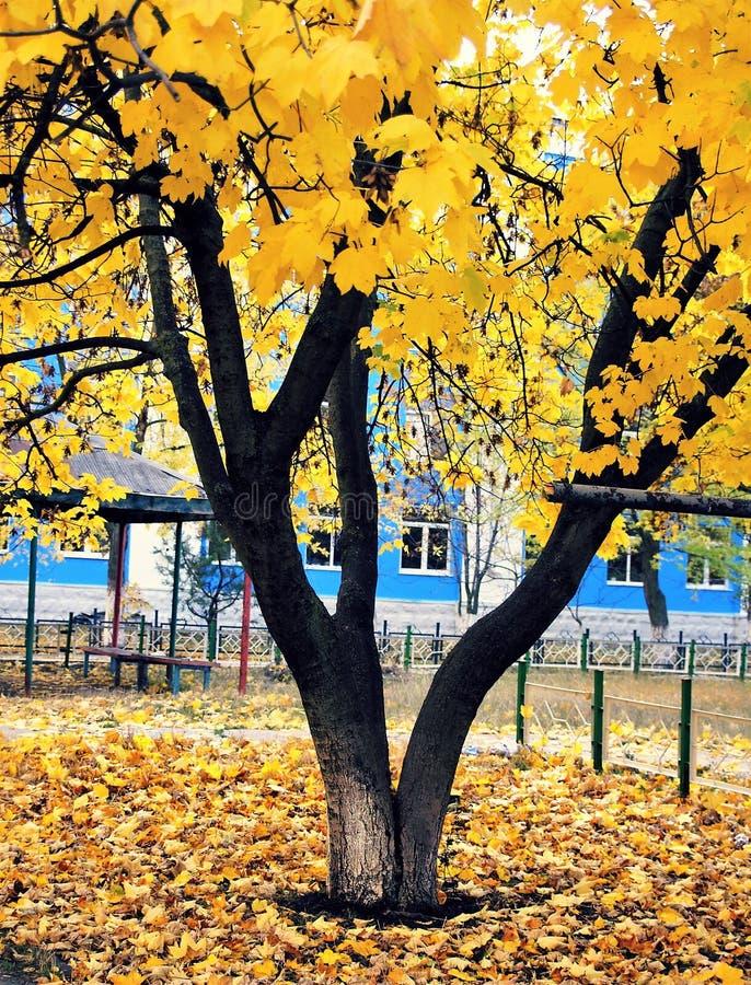 El árbol con amarillo se va en otoño en la ciudad fotografía de archivo