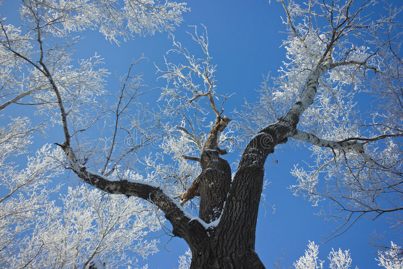 El árbol cubierto con helada imagen de archivo