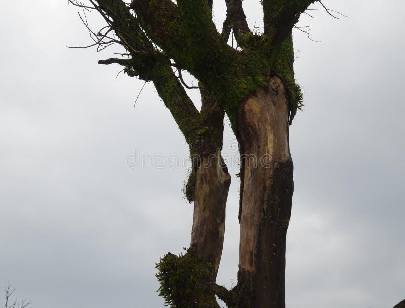 El árbol cubierto de musgo foto de archivo libre de regalías