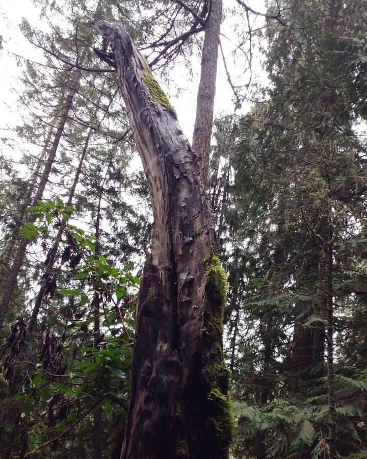 El árbol cubierto de musgo alto imagen de archivo libre de regalías
