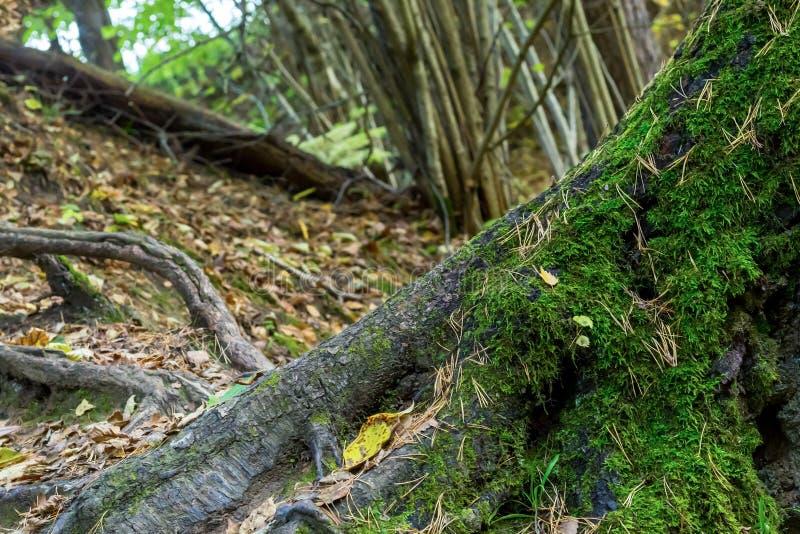 El árbol curtido viejo del tronco con las raíces grandes cubrió la colina de la tierra del fondo del musgo de hojas caidas un pas fotos de archivo