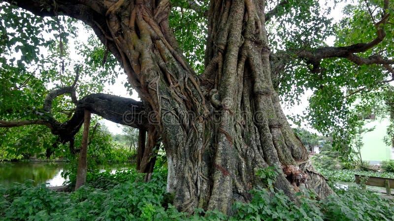 El árbol de 800 años de Bodhi se coloca fuerte con tiempo imagenes de archivo