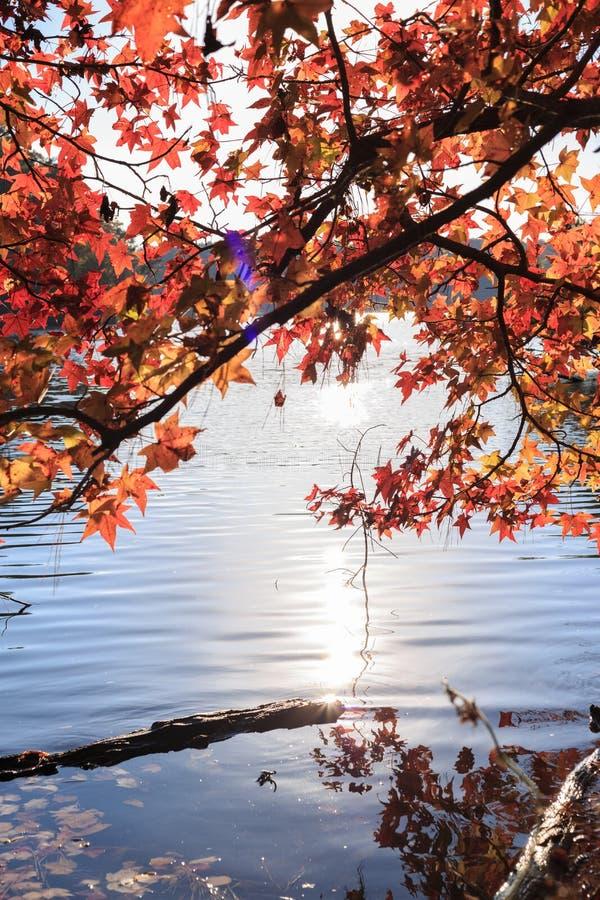 El árbol de arce con amarillo se va sobre el lago con la luz del sol fotos de archivo libres de regalías