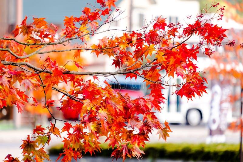 El árbol de arce en la casa y el coche delanteros, hojas de arce da vuelta a color de verde al rojo amarillo, anaranjado y brilla fotos de archivo libres de regalías