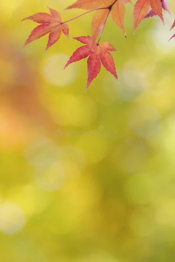 El árbol de arce japonés deja el fondo colorido en otoño imagen de archivo libre de regalías