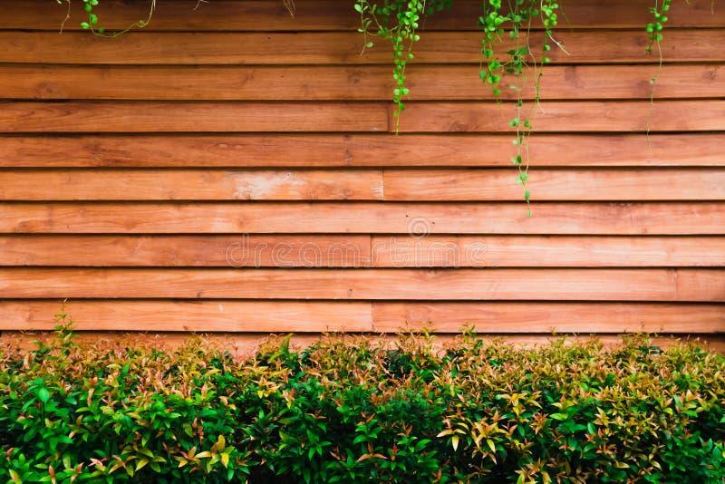 El árbol de Australe de la sizigia en la pared de madera, cepilla la cereza, cala Satinash ?rbol de Christina imágenes de archivo libres de regalías