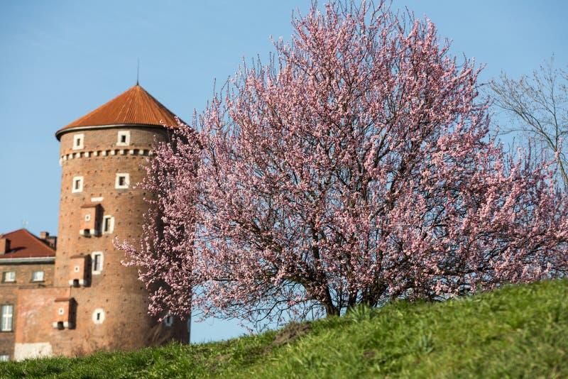El árbol de ciruelo y el Sandomierska flourishing se elevan en el castillo real de Wawel en Kraków imágenes de archivo libres de regalías