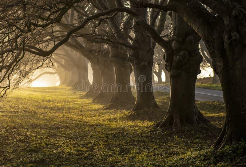 El árbol de haya alineó el camino en la salida del sol imagen de archivo libre de regalías