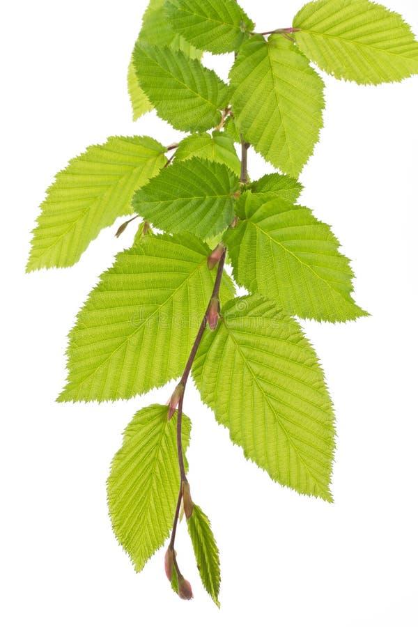 El árbol de haya se va (Fagus) en resorte fotografía de archivo libre de regalías