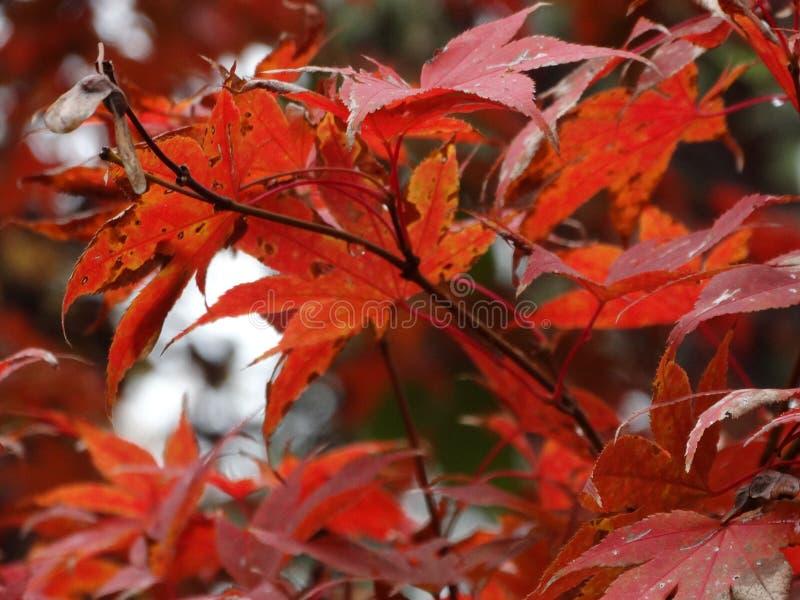 El árbol de la caída sale de colores del invierno de la hoja fotografía de archivo