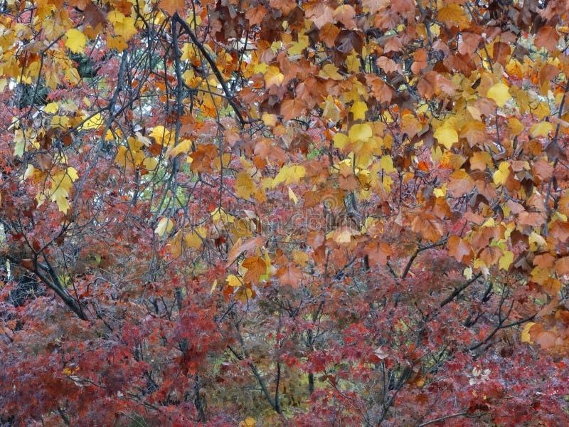 El árbol de la caída sale de colores del invierno de la hoja foto de archivo