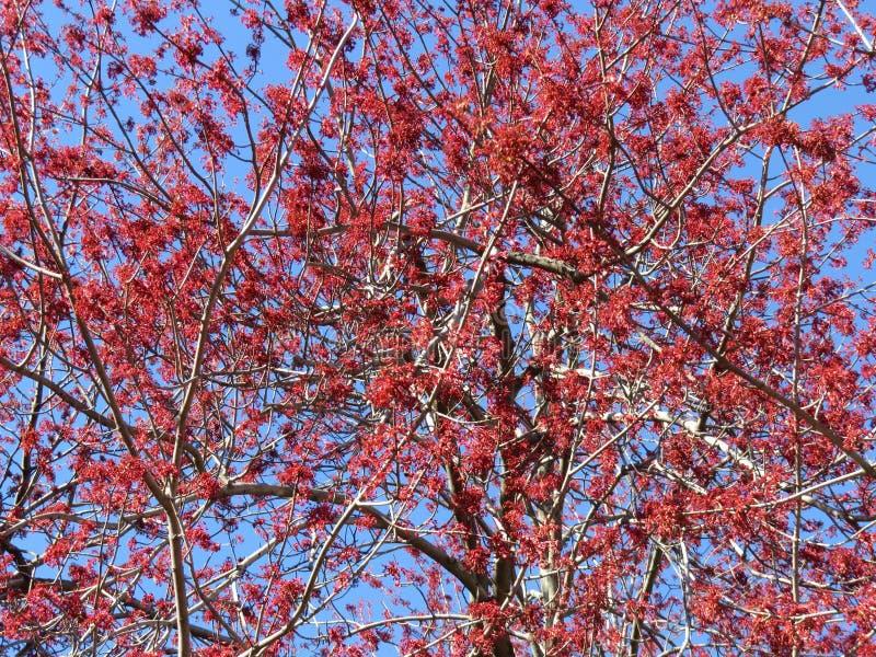 El árbol de la primavera roja florece de finales de marzo fotografía de archivo