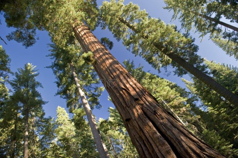 El árbol de la secoya gigante foto de archivo
