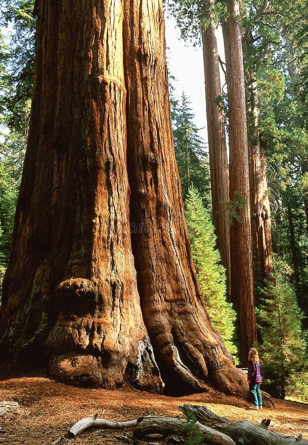 El árbol de la secoya gigante nombró a general Sherman Tree, SR. en fichero foto de archivo libre de regalías