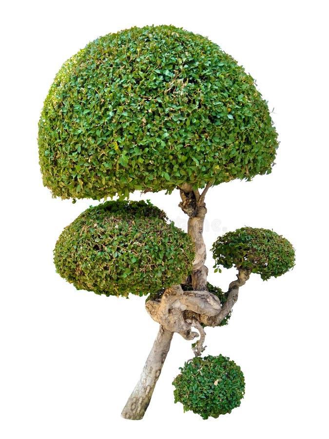 El árbol de las trayectorias de recortes, asper Lour de Streblus es nombre científico ilustración del vector