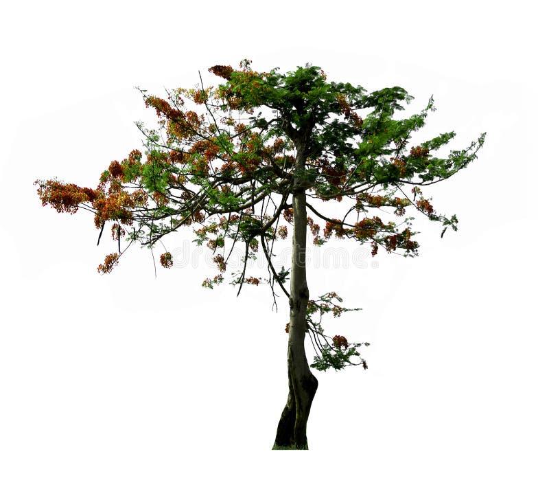 El árbol de llama, árbol tropical aislado en el fondo blanco foto de archivo libre de regalías