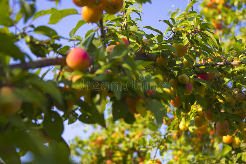 El árbol de melocotón fotografía de archivo libre de regalías
