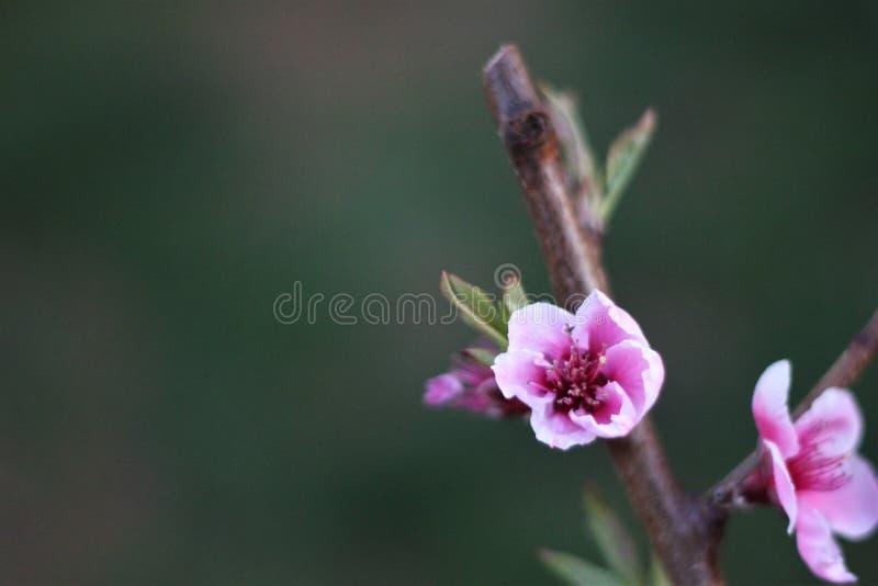 El árbol de melocotón hermoso tres florece en pequeña rama fotografía de archivo