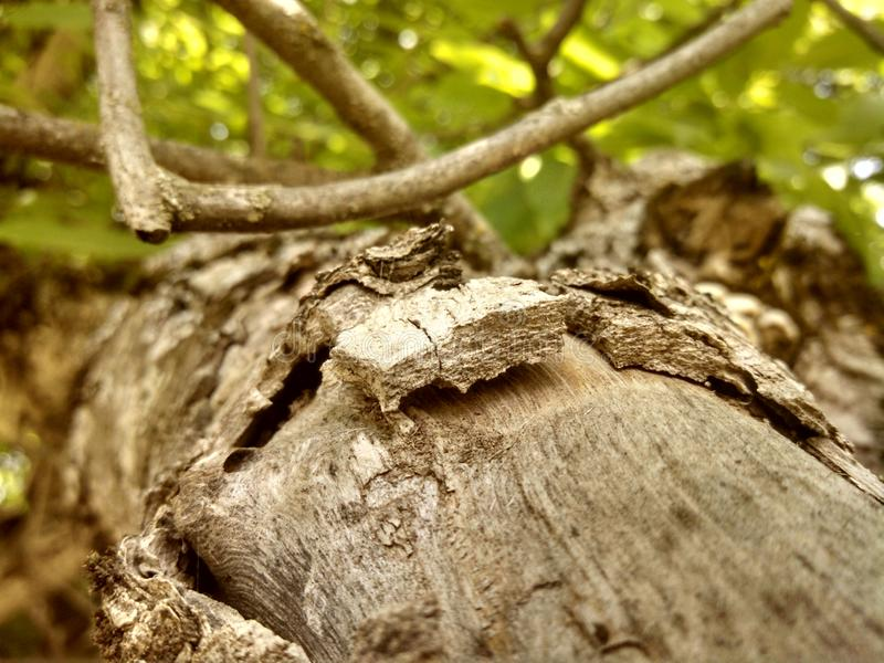 El árbol de nuez griego imagen de archivo libre de regalías