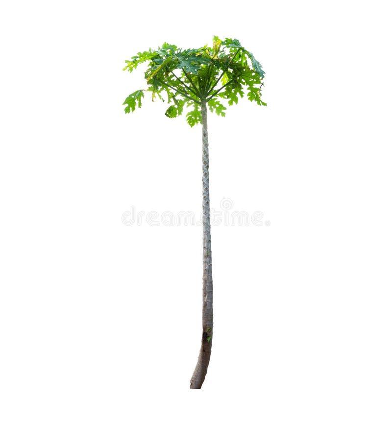 El árbol de papaya, Di cortó en el fondo blanco, hoja verde en asiático, textura fotos de archivo