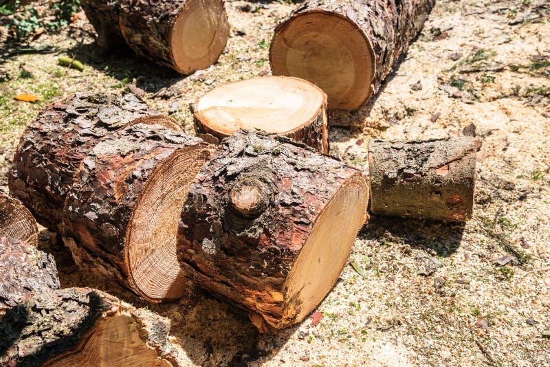 El árbol de pino abre una sesión la tierra imagen de archivo