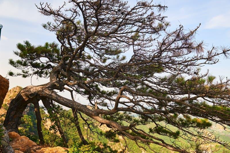 El árbol de pino escénico fotografía de archivo