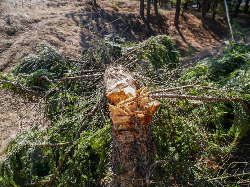 El árbol de pino joven cutted con un hacha, lefted detrás imagenes de archivo