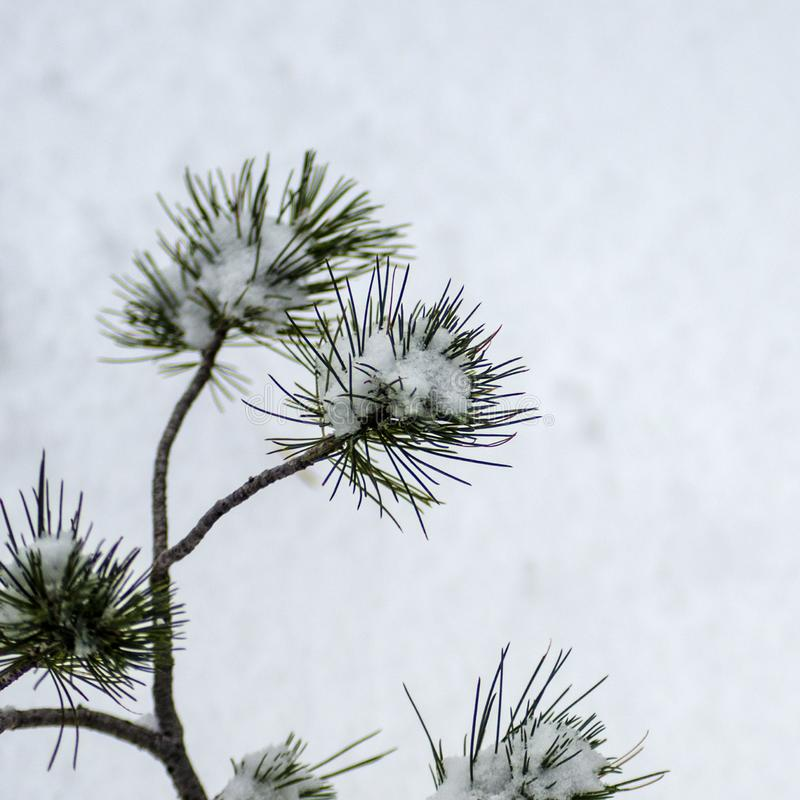 El árbol de pino ponderosa del bebé resiste a la tormenta fotos de archivo