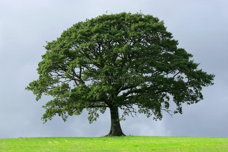 El árbol de roble foto de archivo libre de regalías