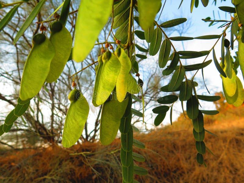 El árbol de tipu suramericano (tipu del Tipuana) fotos de archivo