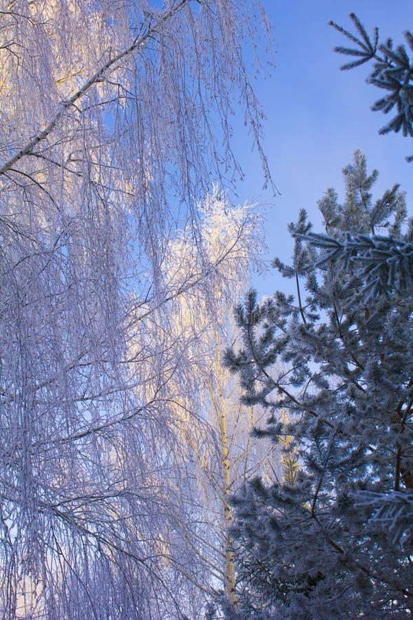 El árbol del abedul y de pino cubrió nieve Paisaje hermoso del invierno imágenes de archivo libres de regalías