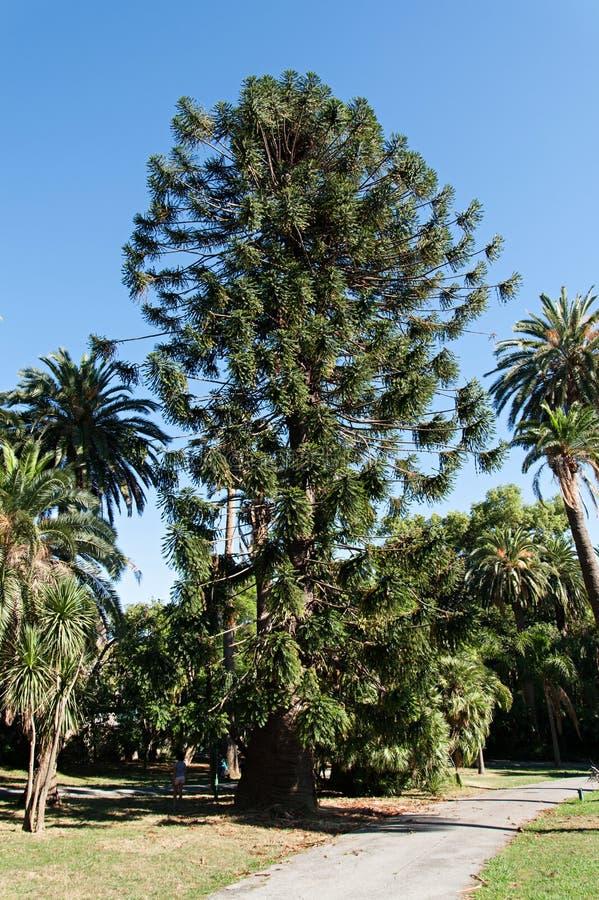 El árbol del araucana de la araucaria parquea los nervios foto de archivo