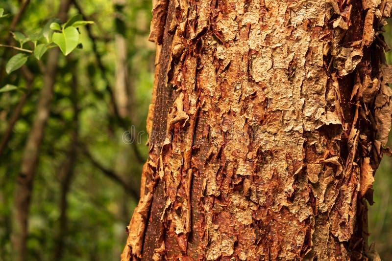 El árbol del gumbo-limbo es una planta medicinal imagen de archivo libre de regalías