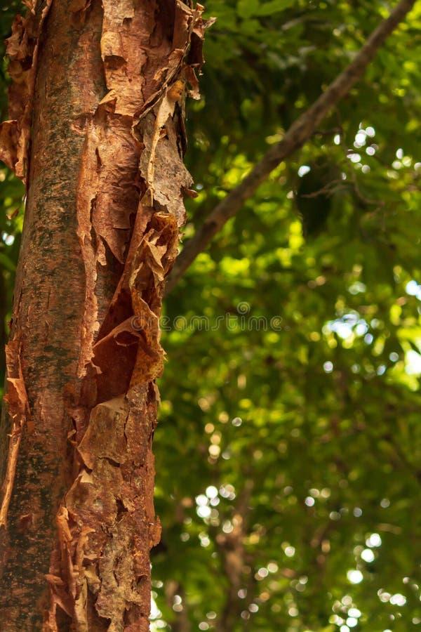 El árbol del gumbo-limbo es una planta medicinal foto de archivo