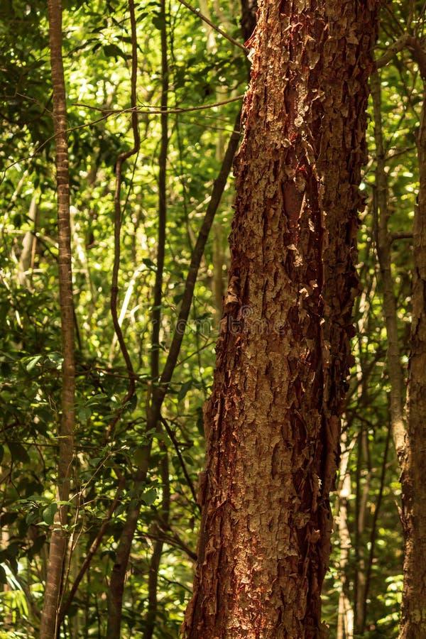 El árbol del gumbo-limbo es una planta medicinal fotografía de archivo