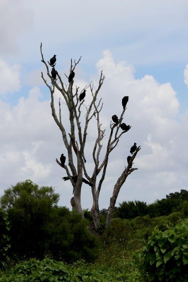 El árbol del halcón fotografía de archivo