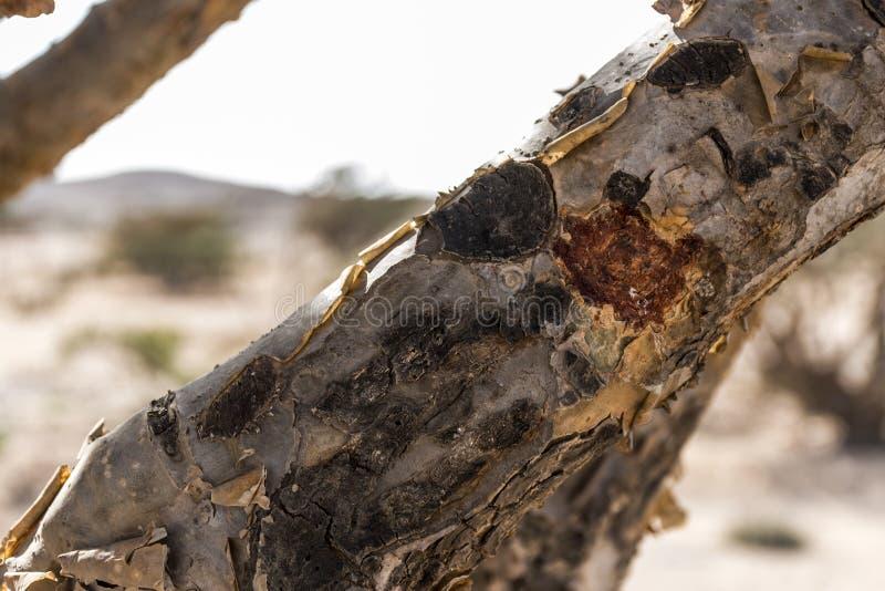 El árbol del incienso planta el desierto creciente de la agricultura del plantage cerca de Salalah Omán 3 foto de archivo