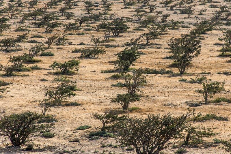El árbol del incienso planta el desierto creciente de la agricultura del plantage cerca de Salalah Omán 5 imagen de archivo libre de regalías