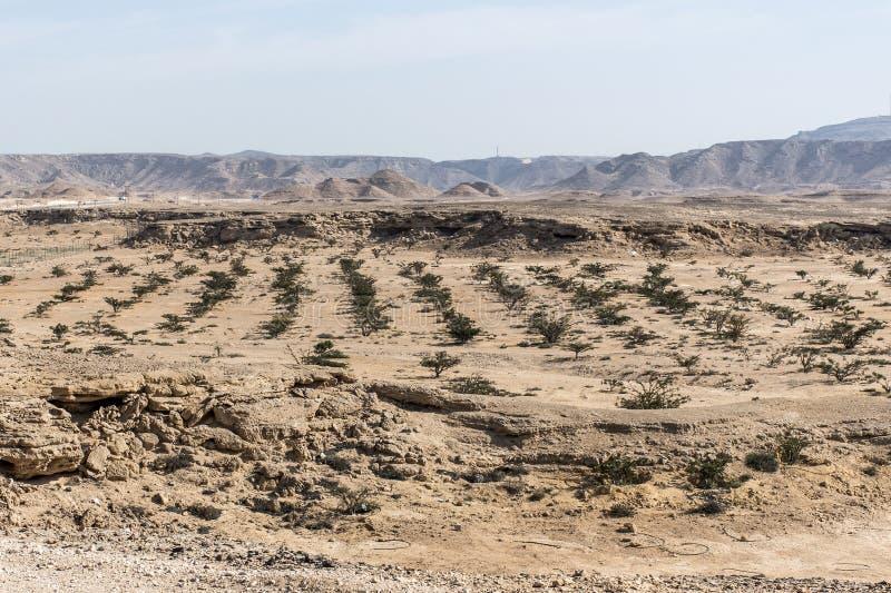 El árbol del incienso planta el desierto creciente de la agricultura del plantage cerca de Salalah Omán 4 imagen de archivo