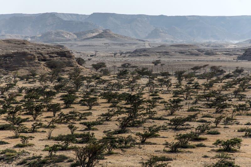 El árbol del incienso planta el desierto creciente de la agricultura del plantage cerca de Salalah Omán 7 imagen de archivo libre de regalías