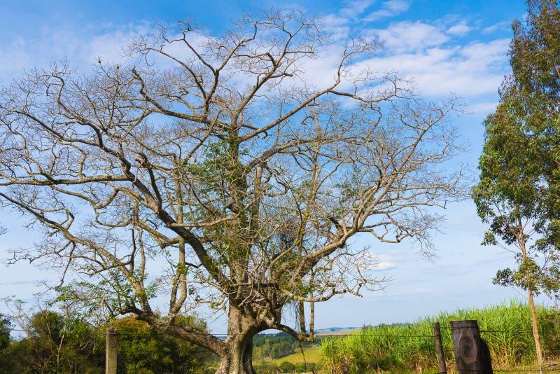 El árbol del Paineira y del horizonte azul 01 foto de archivo