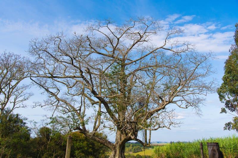El árbol del Paineira y del horizonte azul 02 fotos de archivo