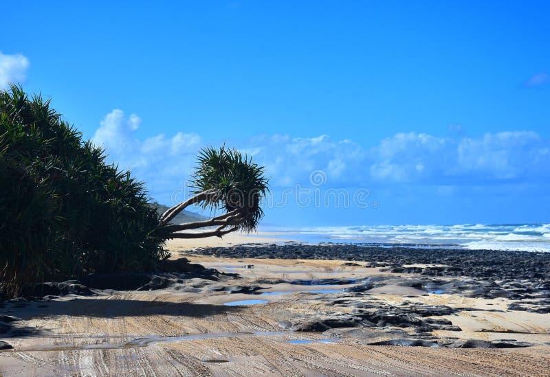 El árbol del Pandanus en 75 millas vara en Fraser Island fotos de archivo