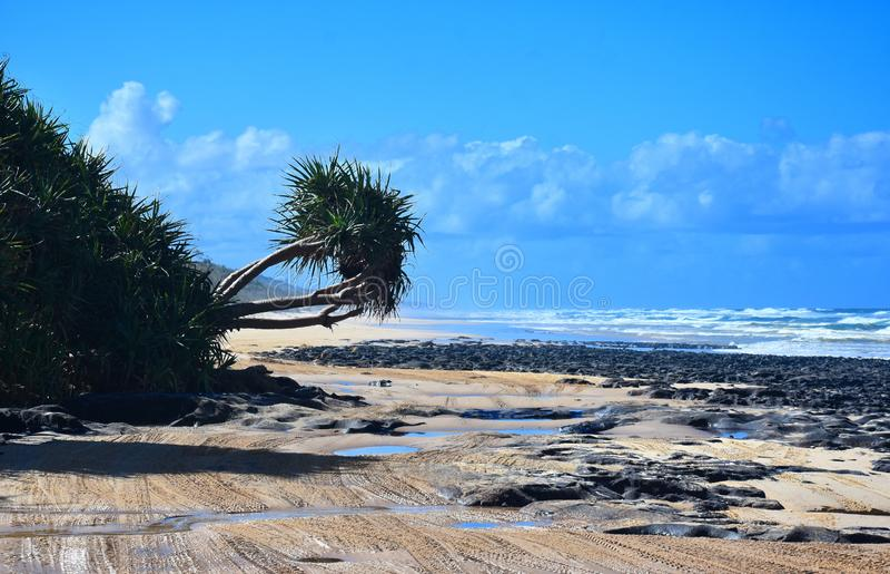 El árbol del Pandanus en 75 millas vara en Fraser Island fotografía de archivo libre de regalías