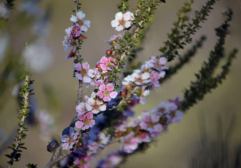 El árbol del té del flor del melocotón florece, squarrosum de Leptospermum imágenes de archivo libres de regalías