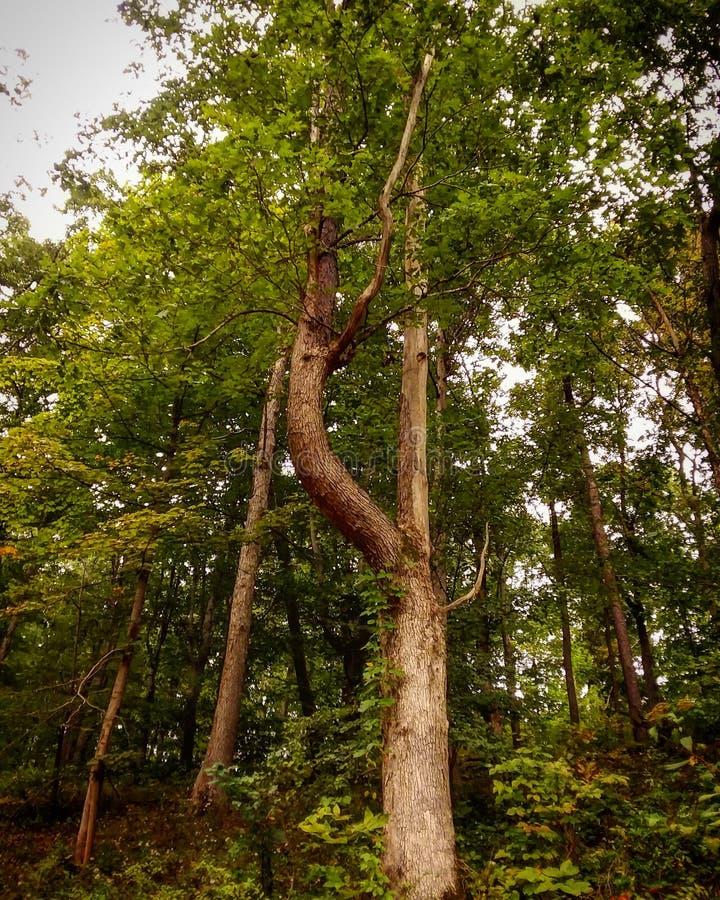 El árbol doblado foto de archivo libre de regalías